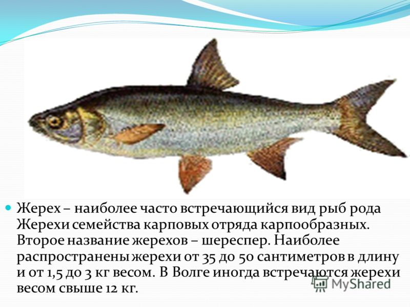 Жерех – наиболее часто встречающийся вид рыб рода Жерехи семейства карповых отряда карпообразных. Второе название жерехов – шереспер. Наиболее распространены жерехи от 35 до 50 сантиметров в длину и от 1,5 до 3 кг весом. В Волге иногда встречаются же