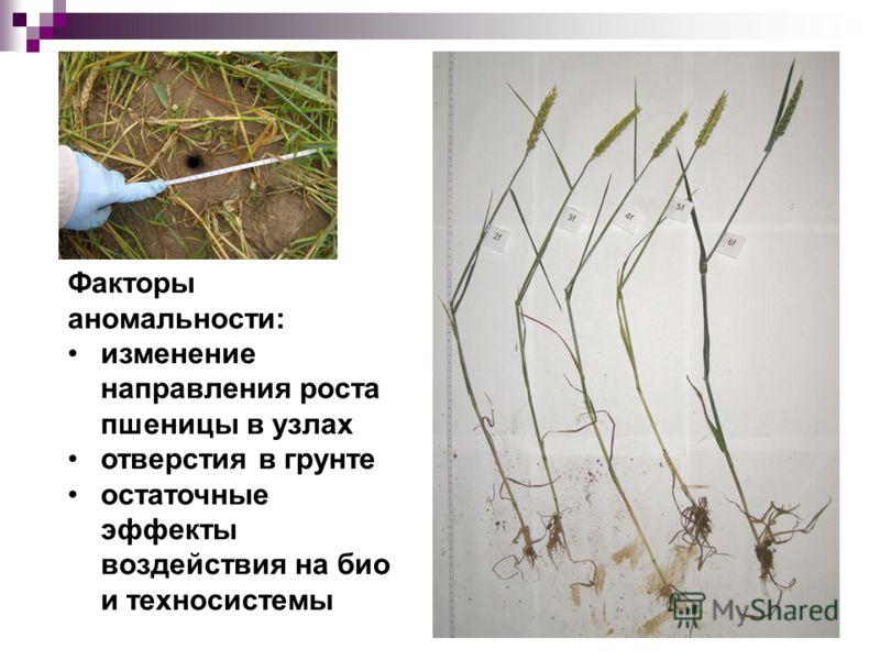 Факторы аномальности: изменение направления роста пшеницы в узлах отверстия в грунте остаточные эффекты воздействия на био и техносистемы