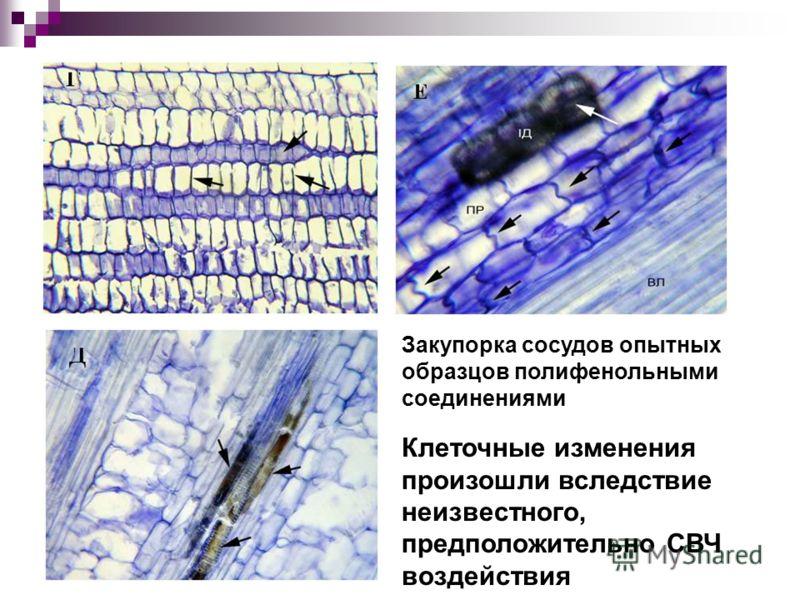 Закупорка сосудов опытных образцов полифенольными соединениями Клеточные изменения произошли вследствие неизвестного, предположительно СВЧ воздействия