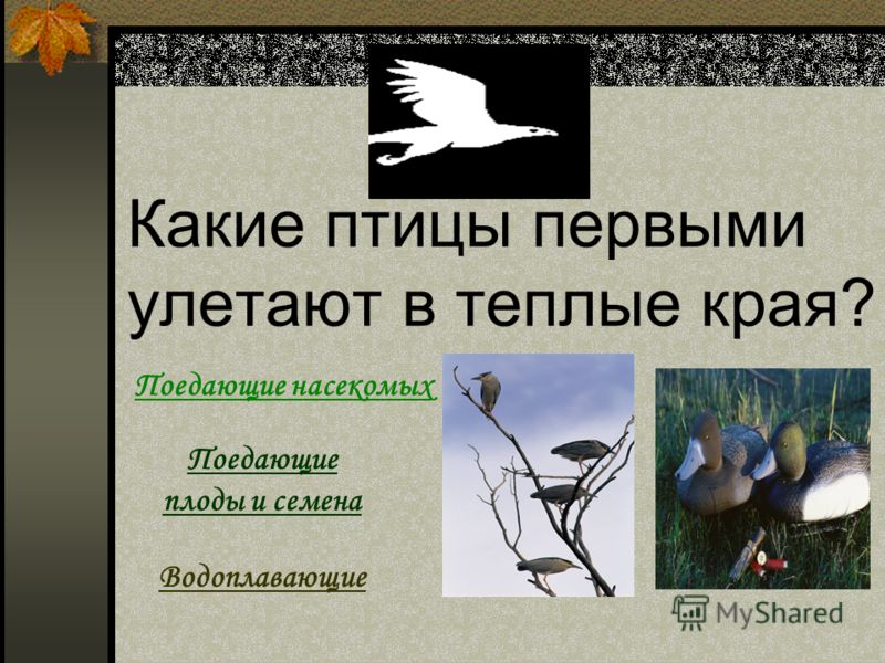 Какие птицы первыми улетают в теплые края? Поедающие насекомых Поедающие плоды и семена Водоплавающие