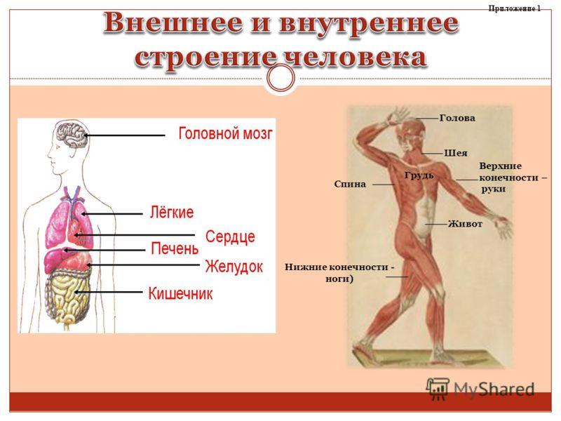 Живот Нижние конечности - ноги) Верхние конечности – руки Голова Шея Грудь Спина Приложение 1