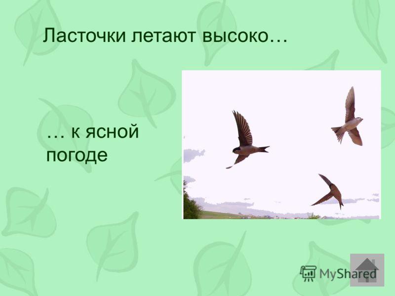 Ласточки летают высоко… … к ясной погоде