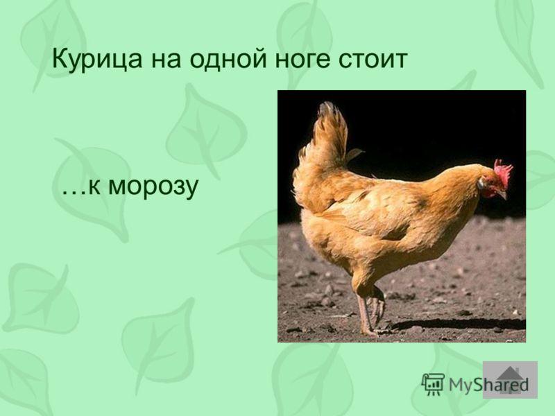 Курица на одной ноге стоит …к морозу