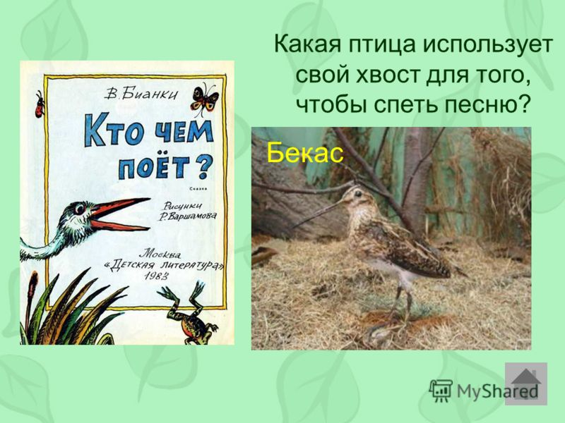 Какая птица использует свой хвост для того, чтобы спеть песню? Бекас