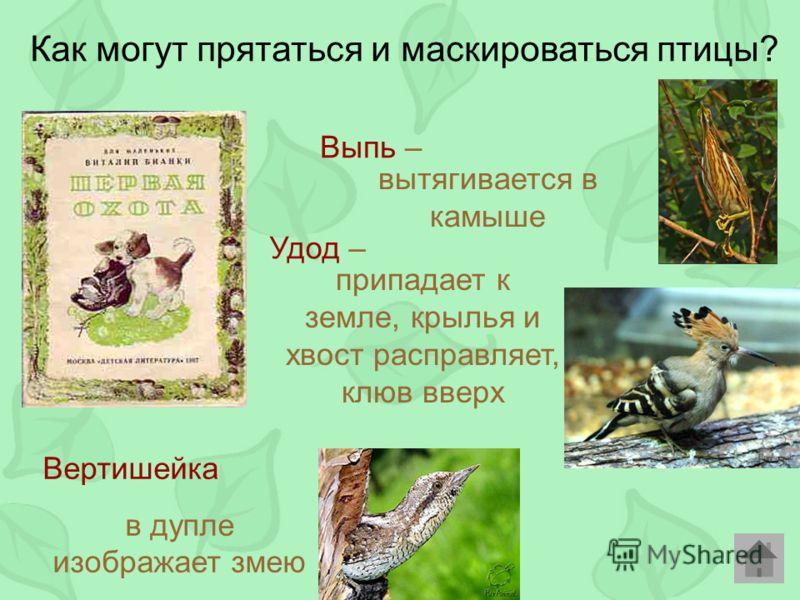 Как могут прятаться и маскироваться птицы? Выпь – Удод – Вертишейка в дупле изображает змею вытягивается в камыше припадает к земле, крылья и хвост расправляет, клюв вверх