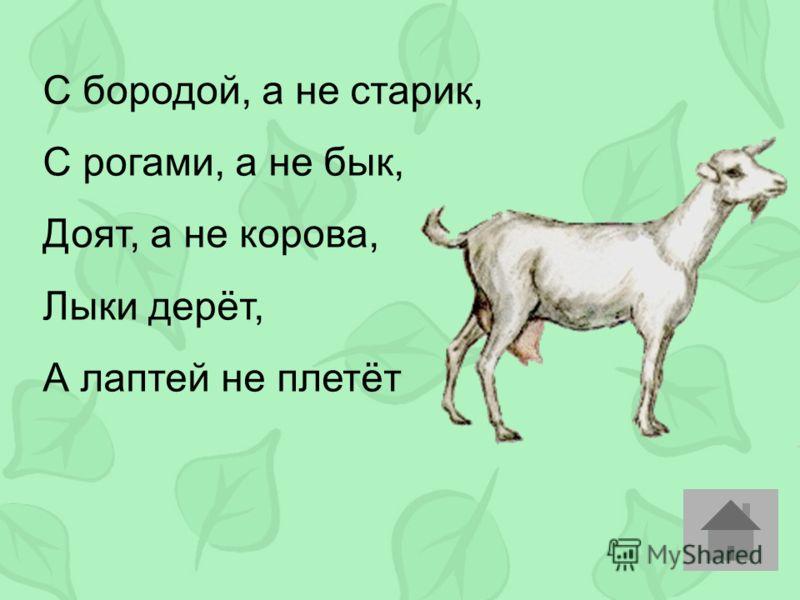С бородой, а не старик, С рогами, а не бык, Доят, а не корова, Лыки дерёт, А лаптей не плетёт
