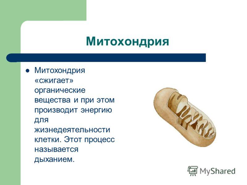 Митохондрия Митохондрия «сжигает» органические вещества и при этом производит энергию для жизнедеятельности клетки. Этот процесс называется дыханием.