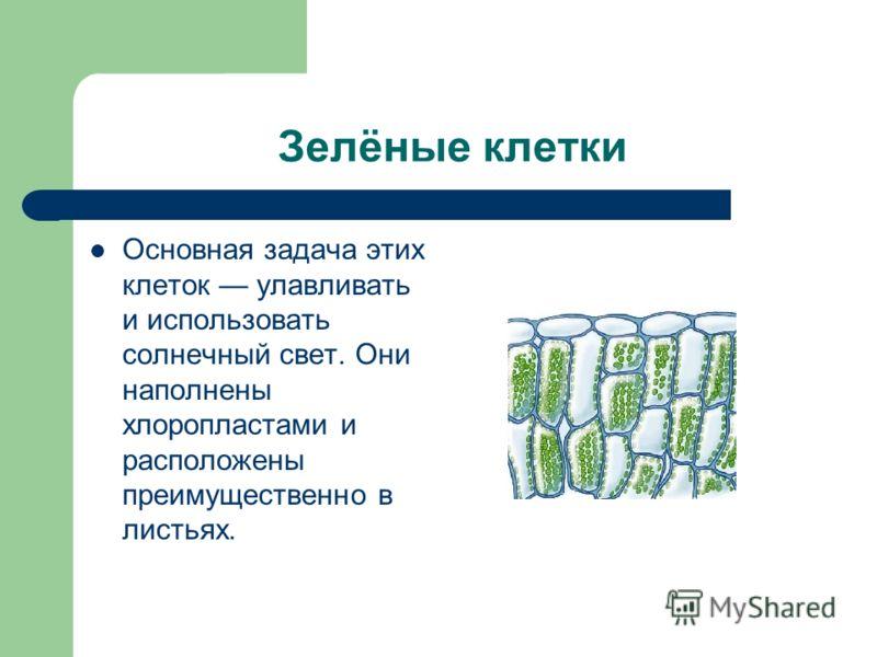 Зелёные клетки Основная задача этих клеток улавливать и использовать солнечный свет. Они наполнены хлоропластами и расположены преимущественно в листьях.