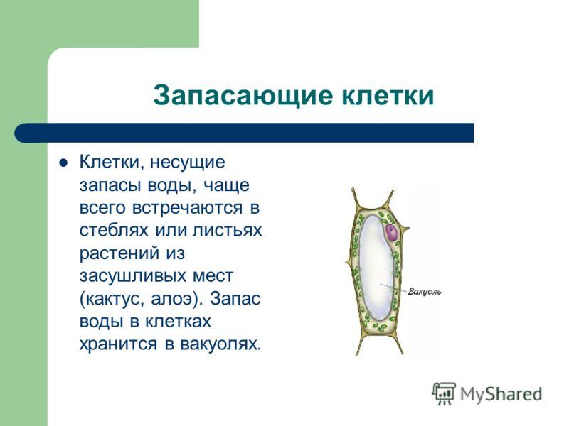 Запасающие клетки Клетки, несущие запасы воды, чаще всего встречаются в стеблях или листьях растений из засушливых мест (кактус, алоэ). Запас воды в клетках хранится в вакуолях.