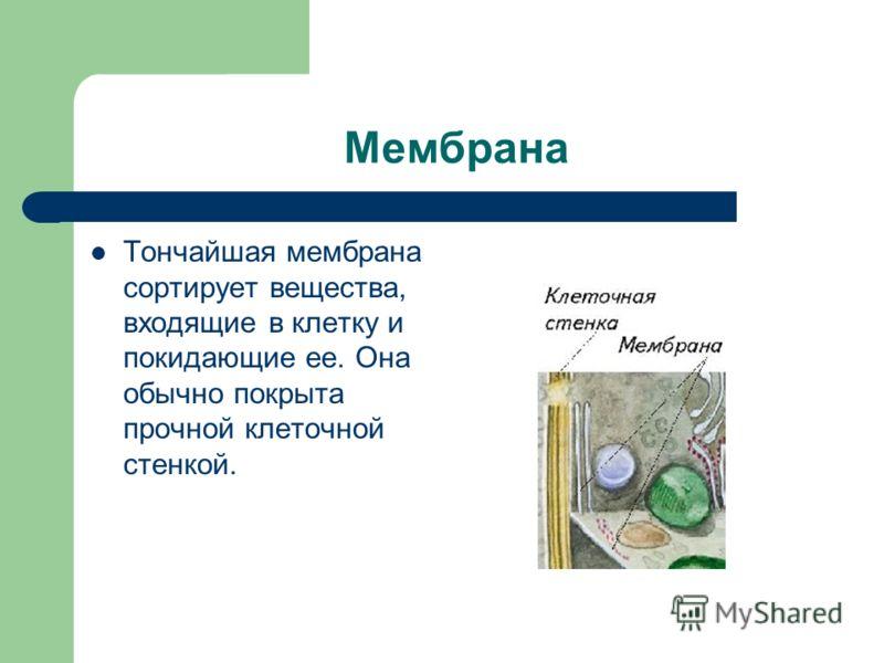 Мембрана Тончайшая мембрана сортирует вещества, входящие в клетку и покидающие ее. Она обычно покрыта прочной клеточной стенкой.
