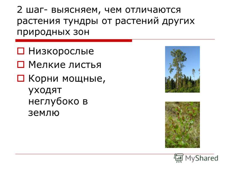 2 шаг- выясняем, чем отличаются растения тундры от растений других природных зон Низкорослые Мелкие листья Корни мощные, уходят неглубоко в землю