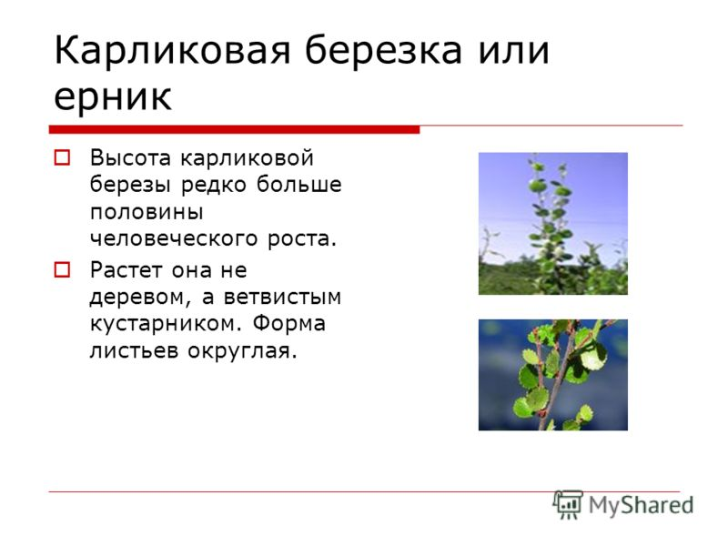 Карликовая березка или ерник Высота карликовой березы редко больше половины человеческого роста. Растет она не деревом, а ветвистым кустарником. Форма листьев округлая.