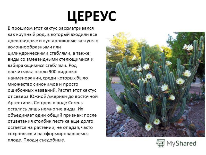 ЦЕРЕУС В прошлом этот кактус рассматривался как крупный род, в который входили все древовидные и кустарниковые кактусы с колоннообразными или цилиндрическими стеблями, а также виды со змеевидными стелющимися и взбирающимися стеблями. Род насчитывал о
