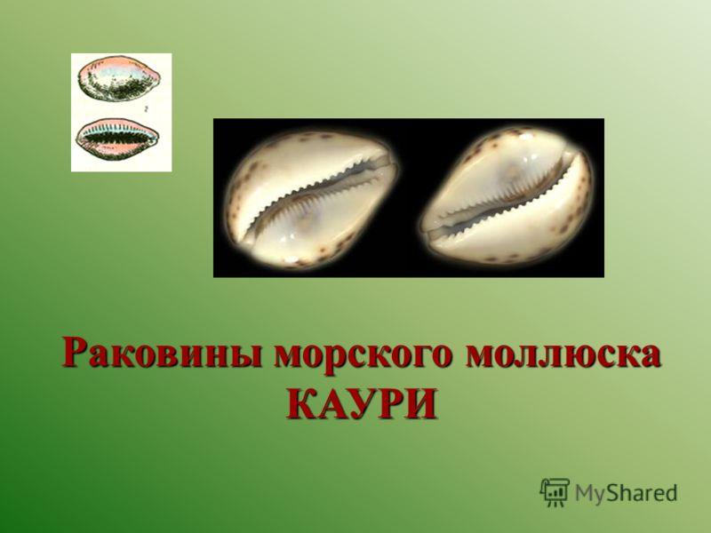 Раковины морского моллюска КАУРИ
