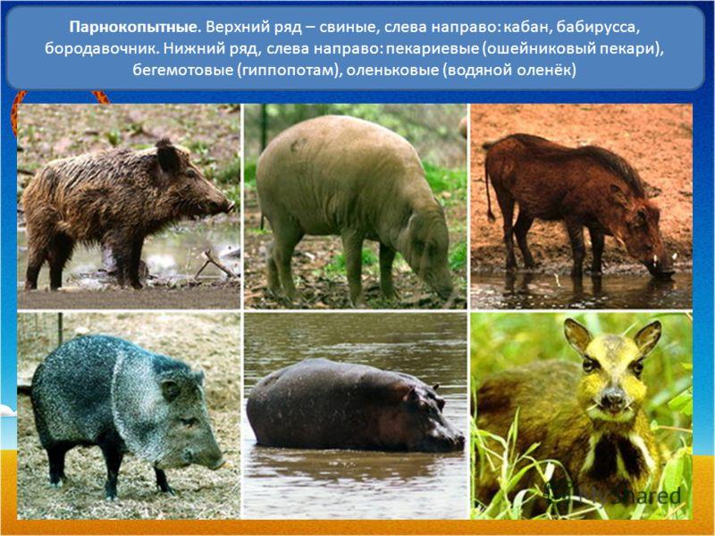 Парнокопытные. Верхний ряд – свиные, слева направо: кабан, бабирусса, бородавочник. Нижний ряд, слева направо: пекариевые (ошейниковый пекари), бегемотовые (гиппопотам), оленьковые (водяной оленёк)