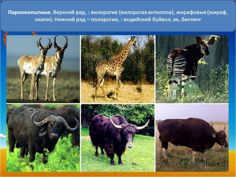 Парнокопытные. Верхний ряд, : вилорогие (вилорогая антилопа), жирафовые (жираф, окапи). Нижний ряд – полорогие, : индийский буйвол, як, бантенг