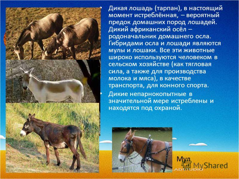 Дикая лошадь (тарпан), в настоящий момент истреблённая, – вероятный предок домашних пород лошадей. Дикий африканский осёл – родоначальник домашнего осла. Гибридами осла и лошади являются мулы и лошаки. Все эти животные широко используются человеком в
