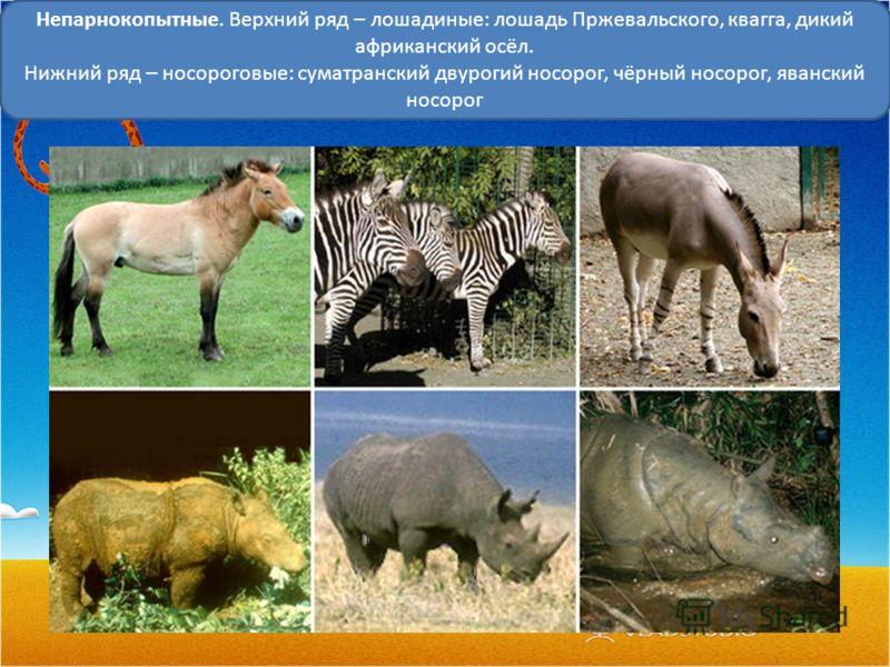 Непарнокопытные. Верхний ряд – лошадиные: лошадь Пржевальского, квагга, дикий африканский осёл. Нижний ряд – носороговые: суматранский двурогий носорог, чёрный носорог, яванский носорог