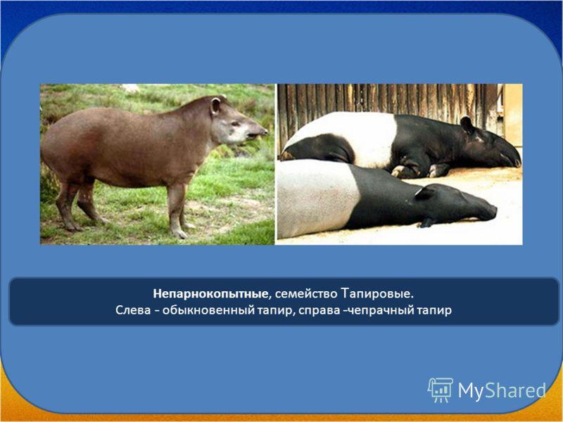 Непарнокопытные, семейство Т апировые. Слева - обыкновенный тапир, справа - чепрачный тапир