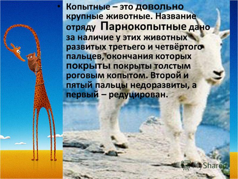 Копытные – это довольно крупные животные. Название отряду П арнокопытные дано за наличие у этих животных развитых третьего и четвёртого пальцев, окончания которых покрыты покрыты толстым роговым копытом. Второй и пятый пальцы недоразвиты, а первый –