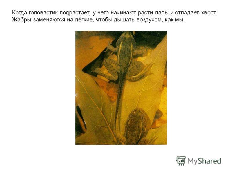Когда головастик подрастает, у него начинают расти лапы и отпадает хвост. Жабры заменяются на лёгкие, чтобы дышать воздухом, как мы. Когда головастик подрастает, у него начинают расти лапы и отпадает хвост. Жабры заменяются на лёгкие, чтобы дышать во