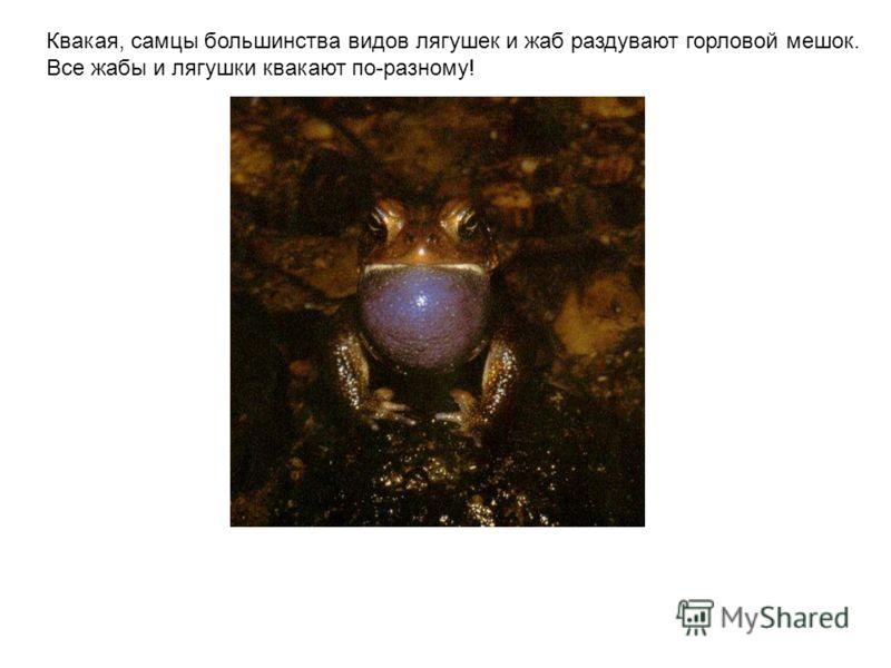 Квакая, самцы большинства видов лягушек и жаб раздувают горловой мешок. Все жабы и лягушки квакают по-разному! Квакая, самцы большинства видов лягушек и жаб раздувают горловой мешок. Все жабы и лягушки квакают по-разному!