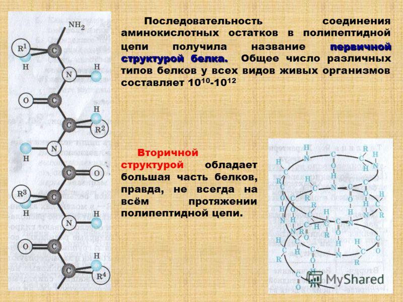 первичной структурой белка. Последовательность соединения аминокислотных остатков в полипептидной цепи получила название первичной структурой белка. Общее число различных типов белков у всех видов живых организмов составляет 10 10 -10 12 Вторичной ст