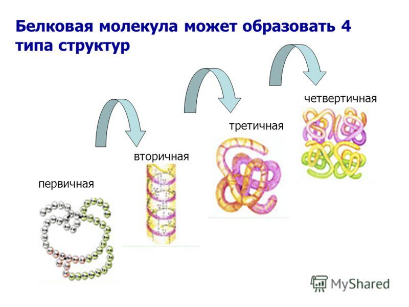 Белковая молекула может образовать 4 типа структур первичная вторичная третичная четвертичная