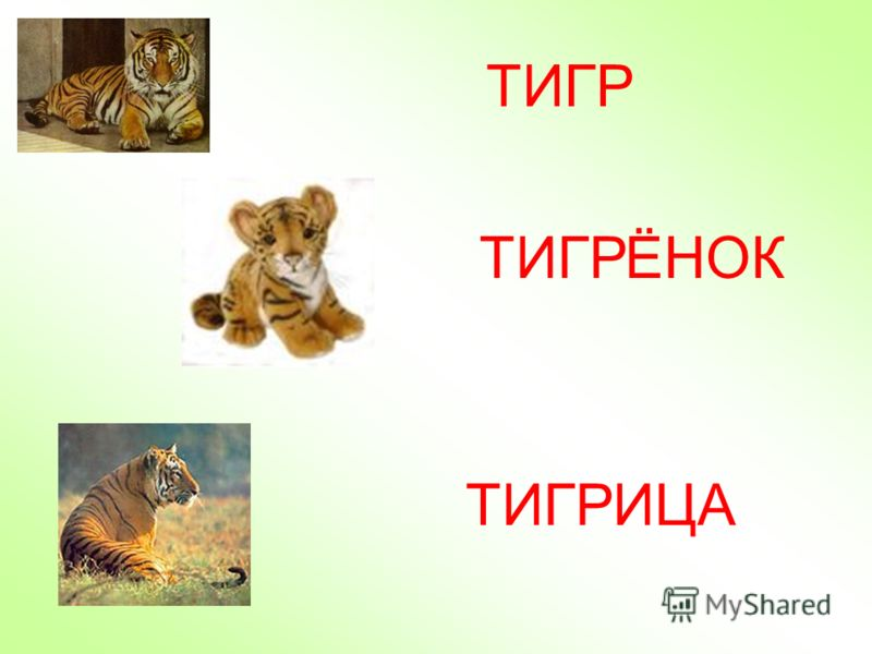 ТИГР ЁНОК ТИГРИЦА