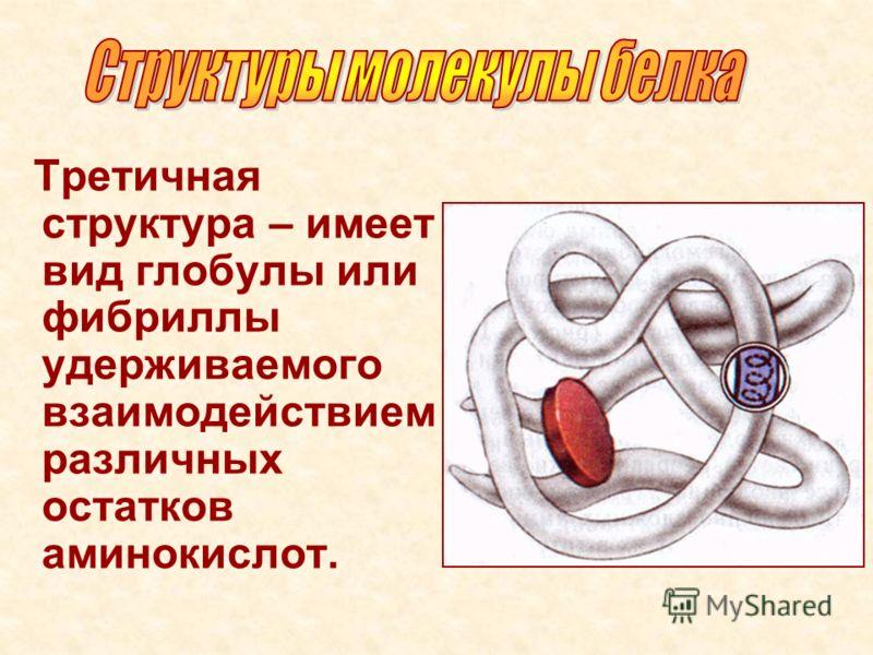 Третичная структура – имеет вид глобулы или фибриллы удерживаемого взаимодействием различных остатков аминокислот.