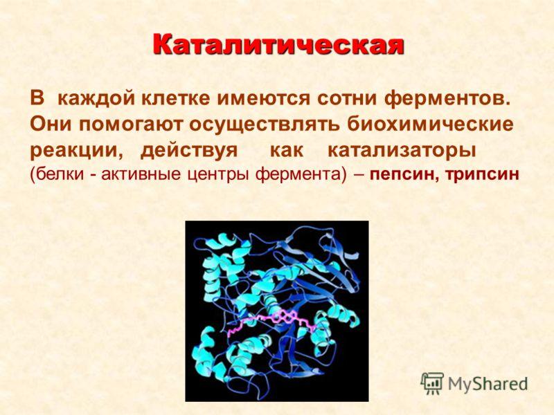 Каталитическая В каждой клетке имеются сотни ферментов. Они помогают осуществлять биохимические реакции, действуя как катализаторы (белки - активные центры фермента) – пепсин, трипсин