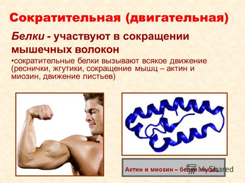 Сократительная (двигательная) Белки - участвуют в сокращении мышечных волокон сократительные белки вызывают всякое движение (реснички, жгутики, сокращение мышц – актин и миозин, движение листьев) Актин и миозин – белки мышц
