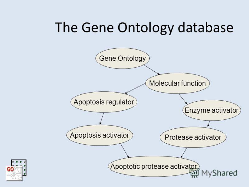 The Gene Ontology database Apoptotic protease activator Gene OntologyApoptosis regulatorEnzyme activatorApoptosis activatorProtease activatorMolecular function
