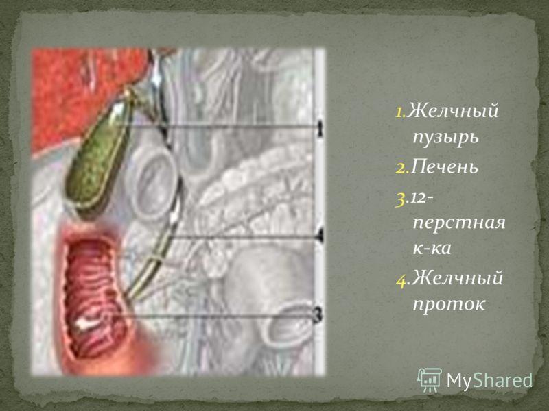 1.Желчный пузырь 2.Печень 3.12- перстная к-ка 4.Желчный проток