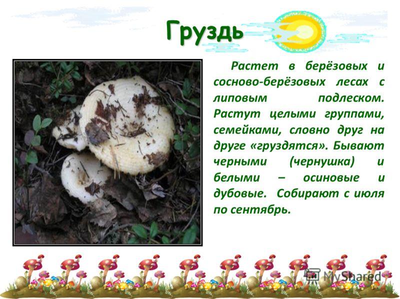 Груздь Растет в берёзовых и сосново-берёзовых лесах с липовым подлеском. Растут целыми группами, семейками, словно друг на друге «груздятся». Бывают черными (чернушка) и белыми – осиновые и дубовые. Собирают с июля по сентябрь.