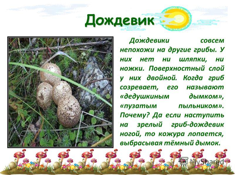 Дождевик Дождевики совсем непохожи на другие грибы. У них нет ни шляпки, ни ножки. Поверхностный слой у них двойной. Когда гриб созревает, его называют «дедушкиным дымком», «пузатым пыльником». Почему? Да если наступить на зрелый гриб-дождевик ногой,