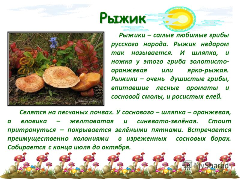 Рыжик Рыжики – самые любимые грибы русского народа. Рыжик недаром так называется. И шляпка, и ножка у этого гриба золотисто- оранжевая или ярко-рыжая. Рыжики – очень душистые грибы, впитавшие лесные ароматы и сосновой смолы, и росистых елей. Селятся