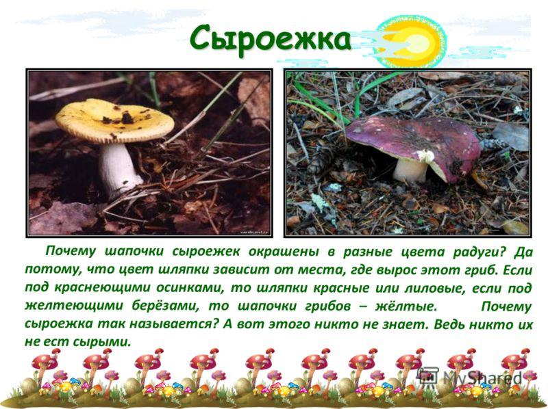 Сыроежка Почему шапочки сыроежек окрашены в разные цвета радуги? Да потому, что цвет шляпки зависит от места, где вырос этот гриб. Если под краснеющими осинками, то шляпки красные или лиловые, если под желтеющими берёзами, то шапочки грибов – жёлтые.