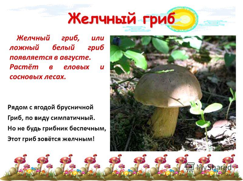 Желчный гриб Желчный гриб, или ложный белый гриб появляется в августе. Растёт в еловых и сосновых лесах. Рядом с ягодой брусничной Гриб, по виду симпатичный. Но не будь грибник беспечным, Этот гриб зовётся желчным!