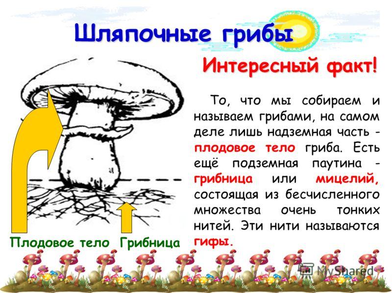 Шляпочные грибы Интересный факт! Интересный факт! То, что мы собираем и называем грибами, на самом деле лишь надземная часть - плодовое тело гриба. Есть ещё подземная паутина - грибница или мицелий, состоящая из бесчисленного множества очень тонких н