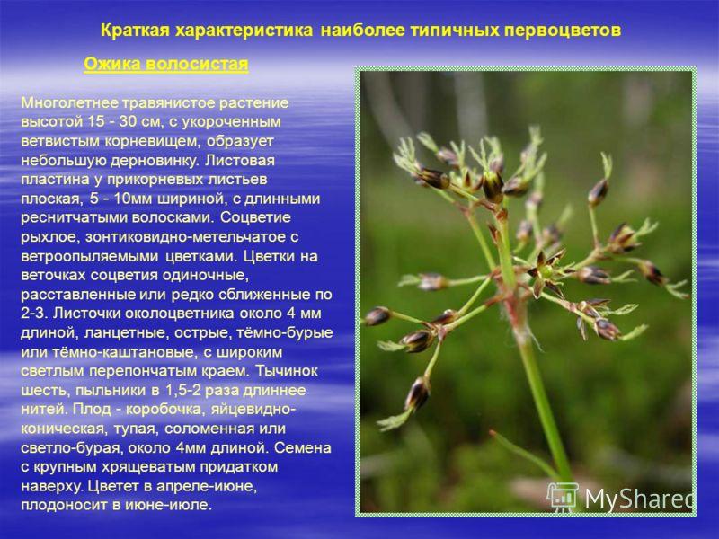 Многолетнее травянистое растение высотой 15 - 30 см, с укороченным ветвистым корневищем, образует небольшую дерновинку. Листовая пластина у прикорневых листьев плоская, 5 - 10мм шириной, с длинными реснитчатыми волосками. Соцветие рыхлое, зонтиковидн