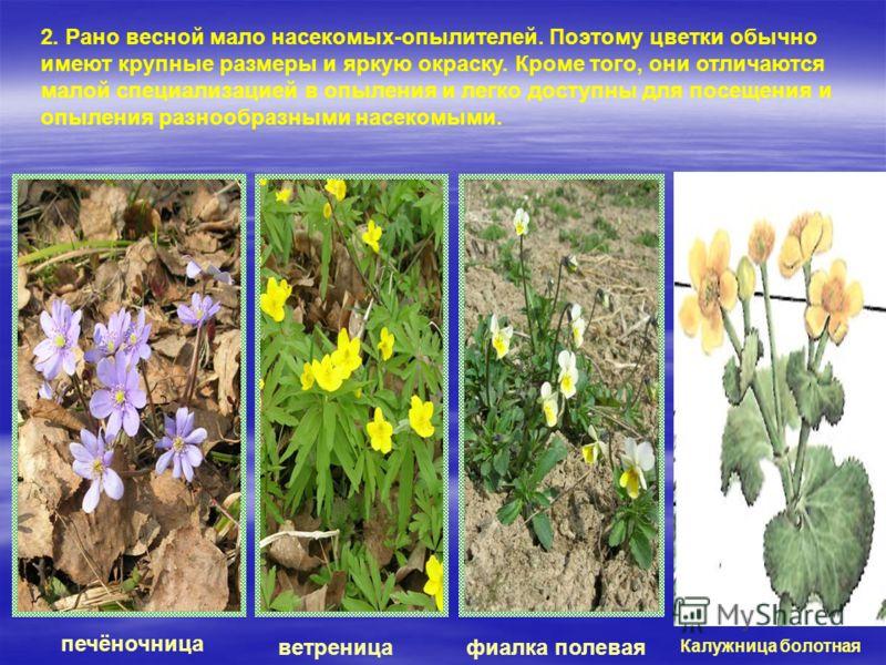 2. Рано весной мало насекомых-опылителей. Поэтому цветки обычно имеют крупные размеры и яркую окраску. Кроме того, они отличаются малой специализацией в опыления и легко доступны для посещения и опыления разнообразными насекомыми. печёночница ветрени