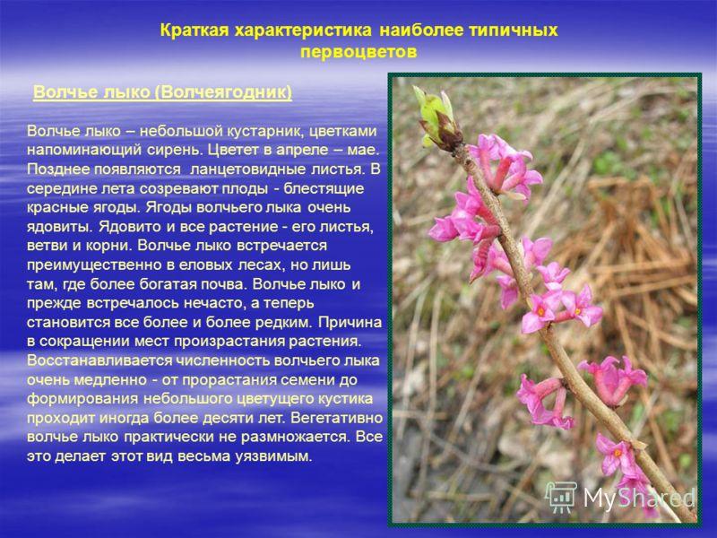 Краткая характеристика наиболее типичных первоцветов Волчье лыко (Волчеягодник) Волчье лыко – небольшой кустарник, цветками напоминающий сирень. Цветет в апреле – мае. Позднее появляются ланцетовидные листья. В середине лета созревают плоды - блестящ