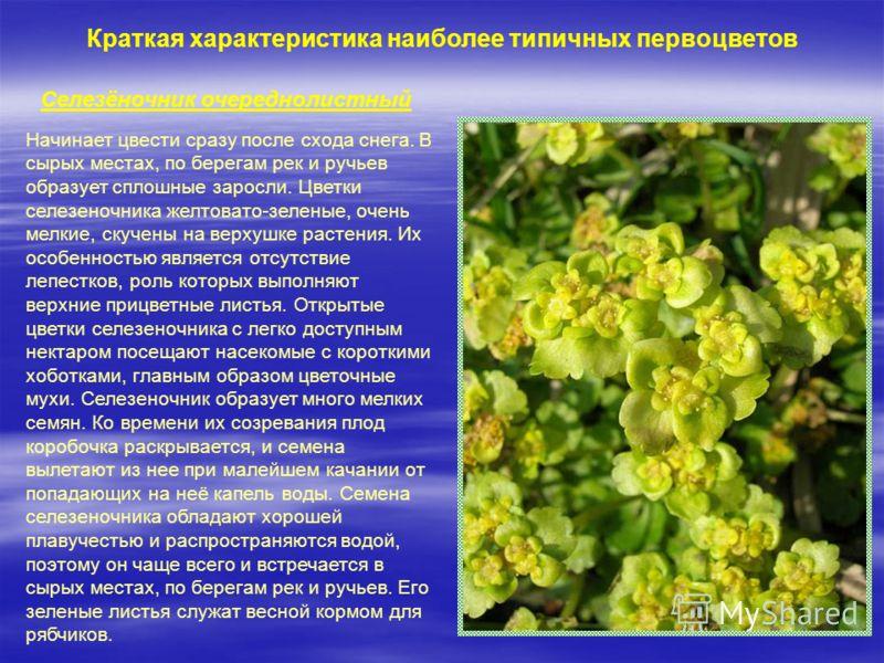 Краткая характеристика наиболее типичных первоцветов Селезёночник очереднолистный Начинает цвести сразу после схода снега. В сырых местах, по берегам рек и ручьев образует сплошные заросли. Цветки селезеночника желтовато-зеленые, очень мелкие, скучен