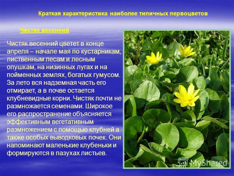 Краткая характеристика наиболее типичных первоцветов Чистяк весенний Чистяк весенний цветет в конце апреля – начале мая по кустарникам, лиственным лесам и лесным опушкам, на низинных лугах и на пойменных землях, богатых гумусом. За лето вся надземная