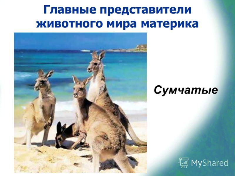 Главные представители животного мира материка Сумчатые