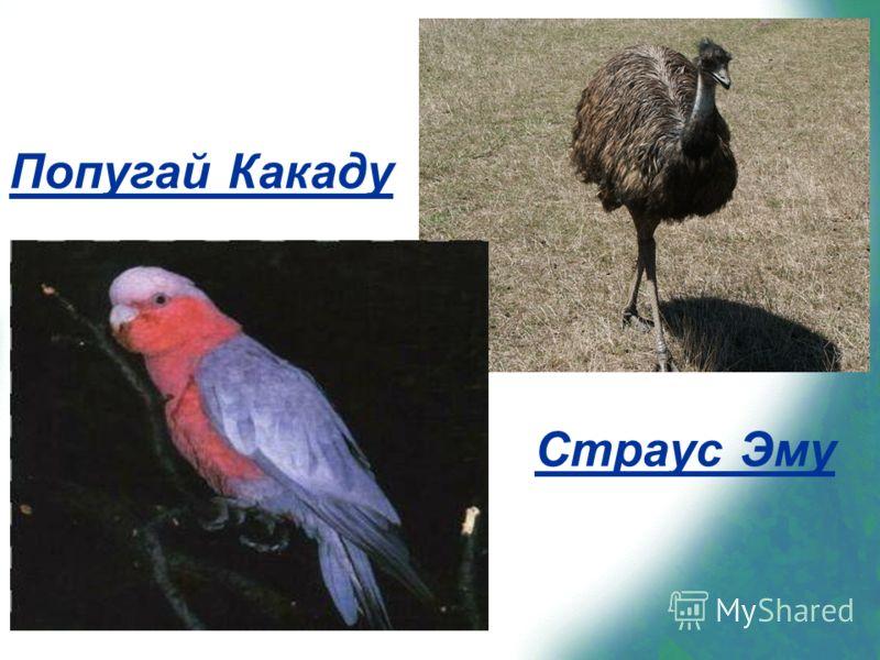 Страус Эму Попугай Какаду