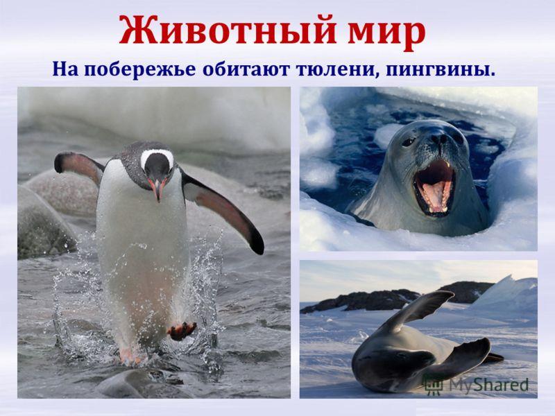 Животный мир На побережье обитают тюлени, пингвины.