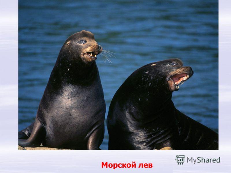 Морской лев Лев морской по виду грозный! Но обманчив - вид серьезный: В антарктиде никого боязливей нет его!