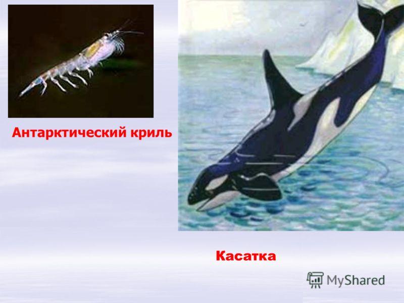 Касатка Антарктический криль У касатки все в порядке И не холодно касатке: ей привычно, как нигде, В антарктической воде! Антарктический криль. Им питаются рыбы, китообразные, кальмары, тюлени, пингвины и другие животные.